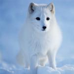 Фотография arctic